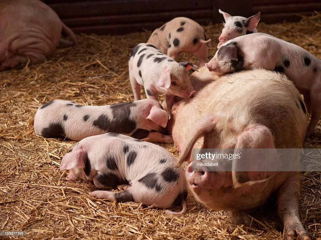 Sow and Piglets