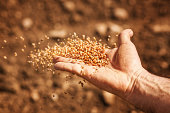 sower's hand with wheat seeds throwing to field