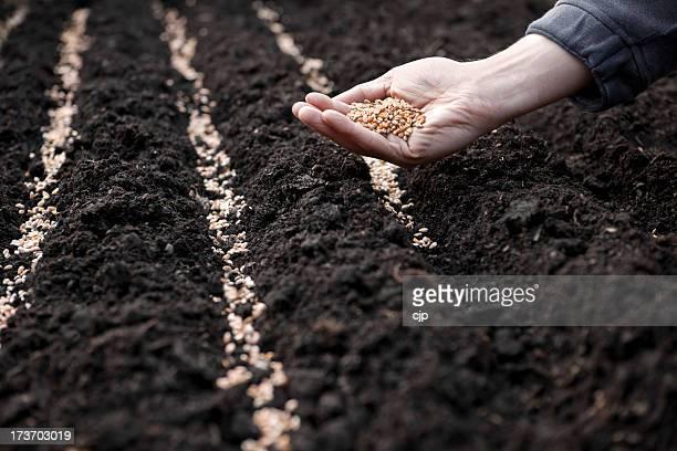 Semer de blé