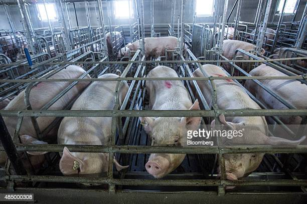 Sows stand in pens ahead of feeding at a pig farm in Baraqueville France on Saturday Aug 21 2015 About twothirds of France is currently facing...