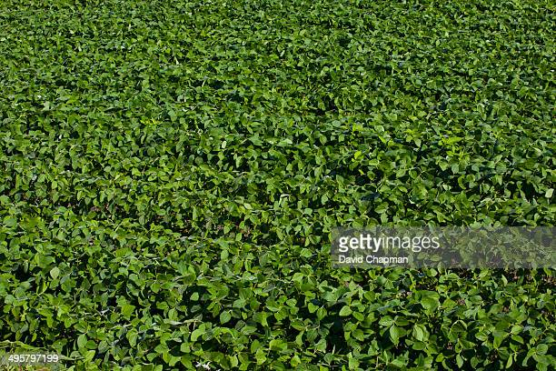 Soy field, Compton, Eastern Townships, Quebec Province, Canada