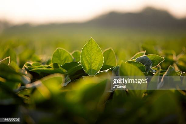 Soy leaves plantation with blur background