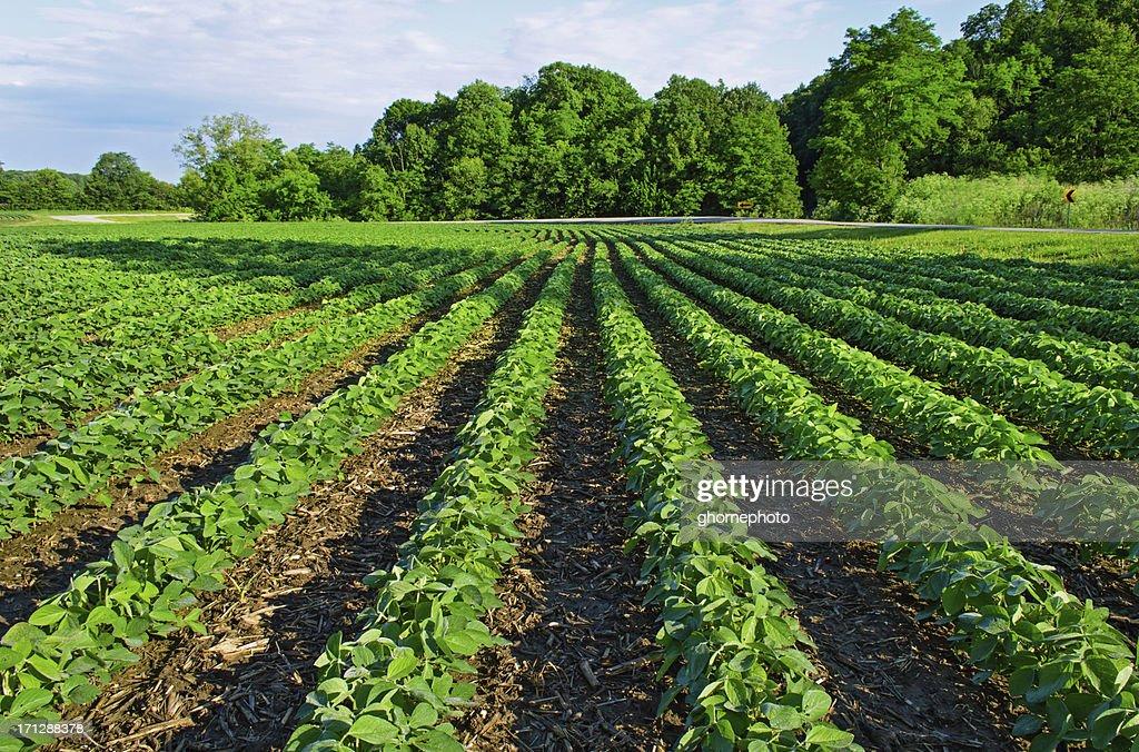 Campo di soia di raccolta ora : Foto stock