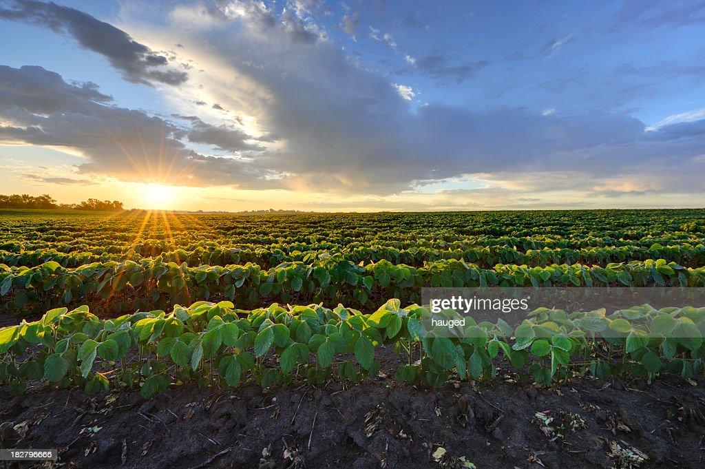 Fagiolo di soia campo all'alba. : Foto stock