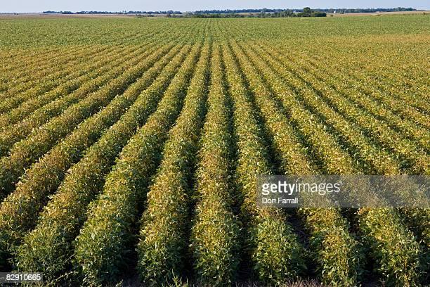 Soybean Field, turning