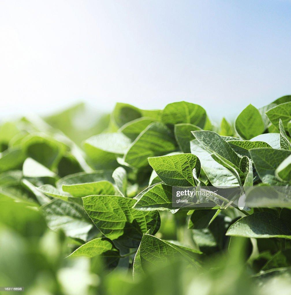 Piante di Fagiolo di soia : Foto stock