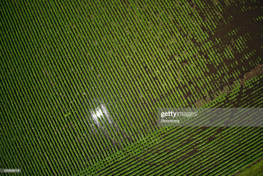 Soybean plants stand in a flooded field near Wyanet, Illinois, U.S., on Tuesday, July 1, 2014. A powerful wind storm, known as a derecho, swept from the Midwest to the western Great Lakes yesterday, bringing devastating wind gusts, reported tornadoes and heavy rain into Illinois, Iowa, and Nebraska according to Weather.com. Despite the weather, soybeans fell to the lowest since December 2011 as the outlook for record seedings boosted speculation that supplies will be ample in the U.S.Photographer: Daniel Acker/Bloomberg via Getty Images
