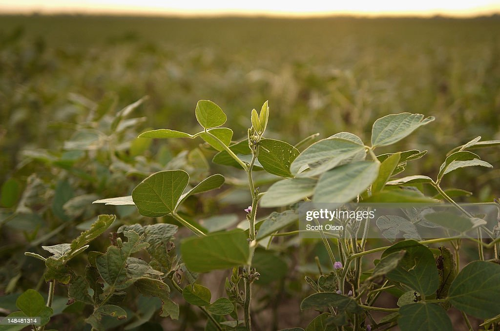 Soybean plants, whose growth has been stunted by drought, grow in a field on July 17, 2012 near Fritchton, Indiana. The corn and soybean belt in the middle of the nation is experiencing one of the worst droughts in more than five decades. Indiana was the nation's fourth largest corn producer in 2011.