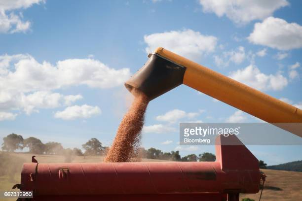 Soybeans are loaded into a truck after being harvested at the Santa Cruz farm near Atibaia Brazil on Wednesday March 29 2017 Brazil is world's...