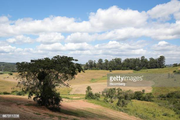 Soybeans fields stand at the Santa Cruz farm near Atibaia Brazil on Wednesday March 29 2017 Brazil is the world's biggest soybean exporter and second...