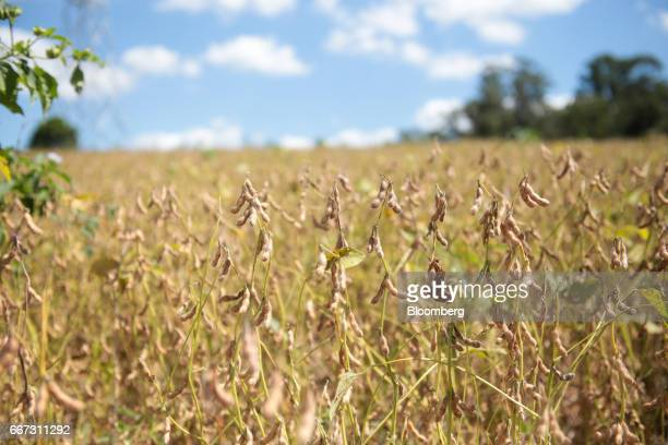Soybeans stand ready to be harvested at the Santa Cruz farm near Atibaia Brazil on Wednesday March 29 2017 Brazil is world's biggest soybean exporter...