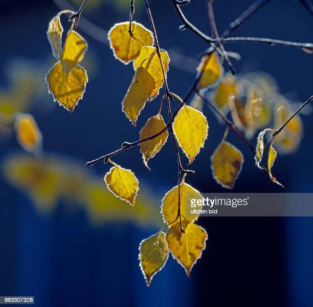 Spaetherbstliches gelbes Birkenlaub der Sandbirke mit Reif bedeckt