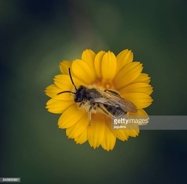 Spain, Andalucia, Granada, Loja, Worker bee pollinating yellow flower