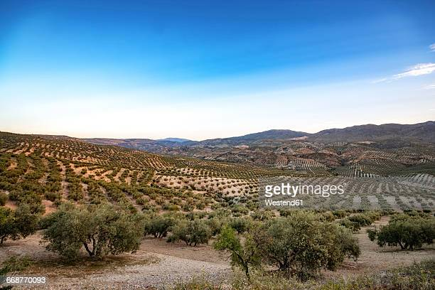 Spain, Andalusia, Hills and olive groves