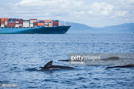 Spain, Andalusia, Tarifa, Strait of Gibraltar, Long-finned pilot whales, Globicephala melas in front of a cargo ship