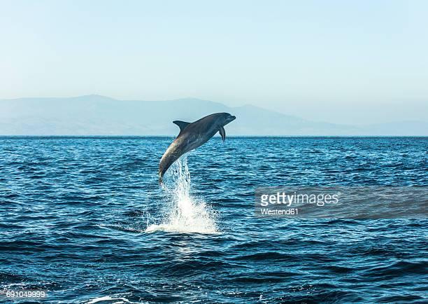 Spain, bottlenose dolphin jumping in the air