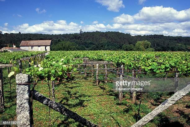 Spain Galicia Vineyard