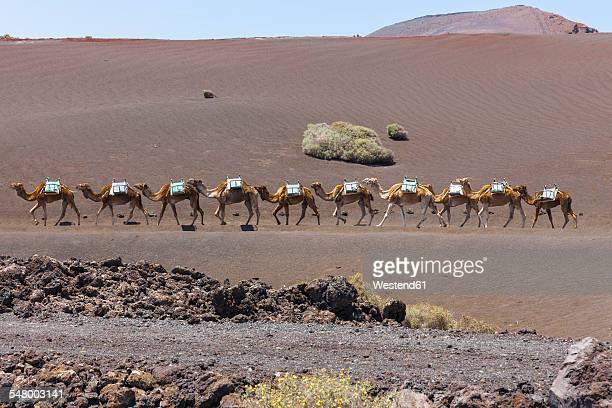 Spain, Lanzarote, Dromedary caravan in Timanfaya National Park