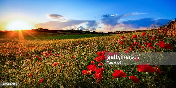 Spain, Menorca, Field of poppy flowers