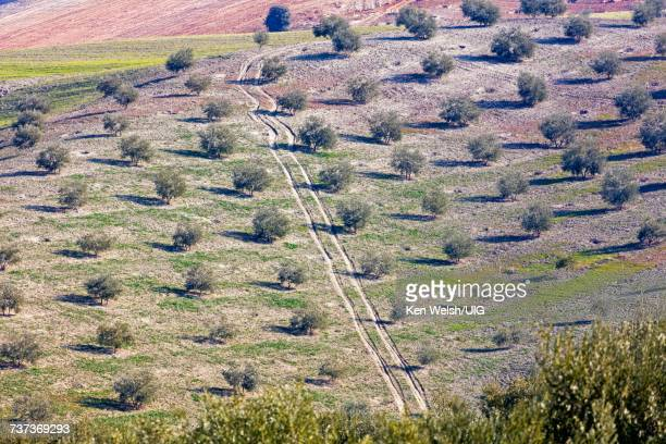 Spain. Olive groves. Olea europaea.