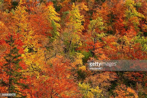 Spain, Ordesa National Park, coniferous forest in autumn