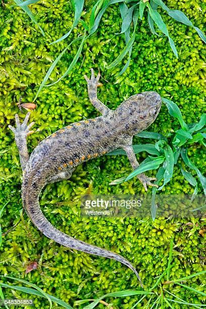 Spain, Province of Zamora, Iberian ribbed newt