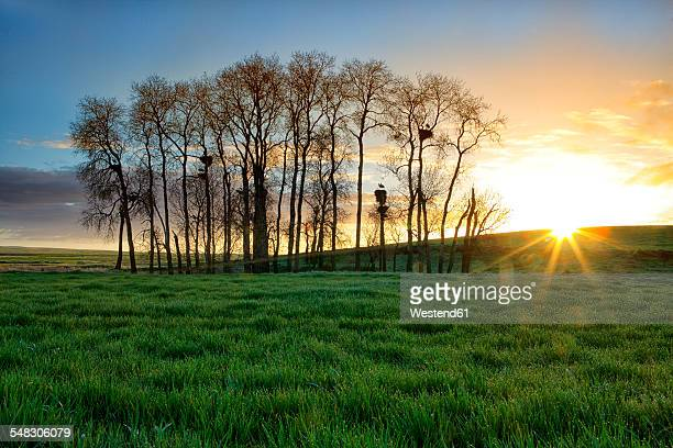 Spain, Province of Zamora, sunrise over field with white storks on trees