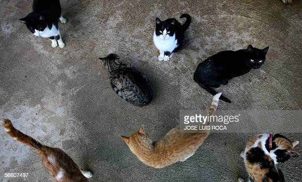 Stray cats are seen at an animal welfare centre in Algeciras 17 January 2006 On San Anton day the patron saint for domestic animals when many a...
