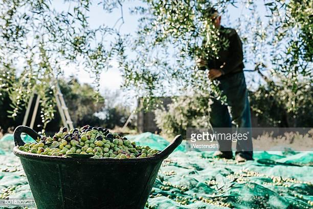 Spain, Tarragona, basket of harvested olives
