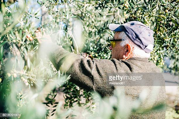Spain, Tarragona, senior man harvesting olives