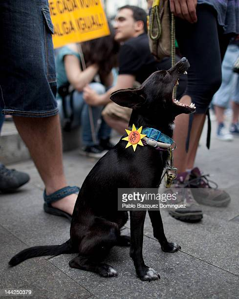 Spain's Indignant's dog sits at Puerta del sol Square to mark the first Anniversary of the protest movement on May 12 2012 in Madrid Spain...