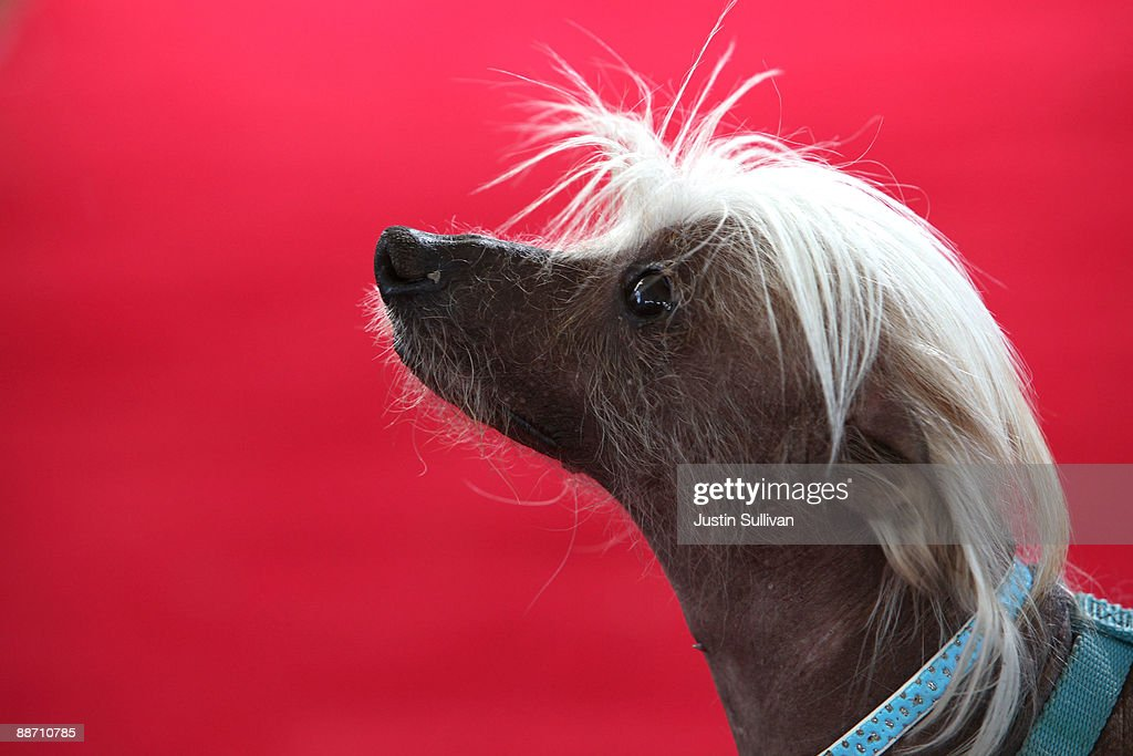 Spam-O-Rama, a Chinese Crested, sits on the red carpet before the start of the 21st Annual World's Ugliest Dog Contest at the Sonoma-Marin Fair June 26, 2009 in Petaluma, California. Pabst, a four year-old boxer mix won the annual World's Ugliest Dog contest.