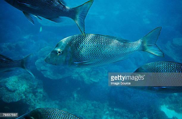 Spangled emperor fish