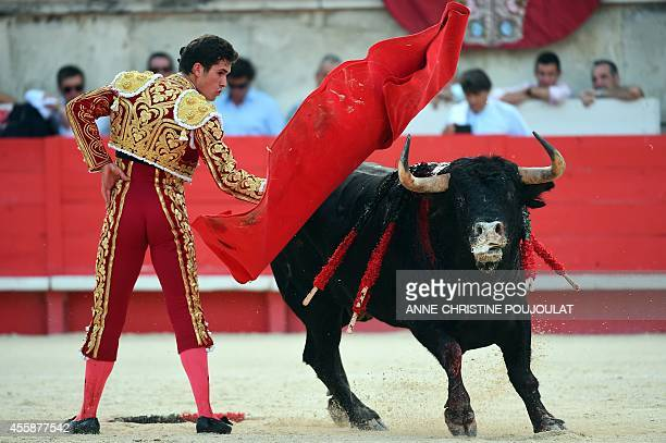 Spaniard Daniel Luque fights a Spanish Daniel Ruiz bull on September 21 2014 during the last bullfight of the Feria des Vendanges in the southern...