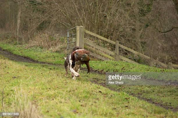 Spaniel carrying pheasant