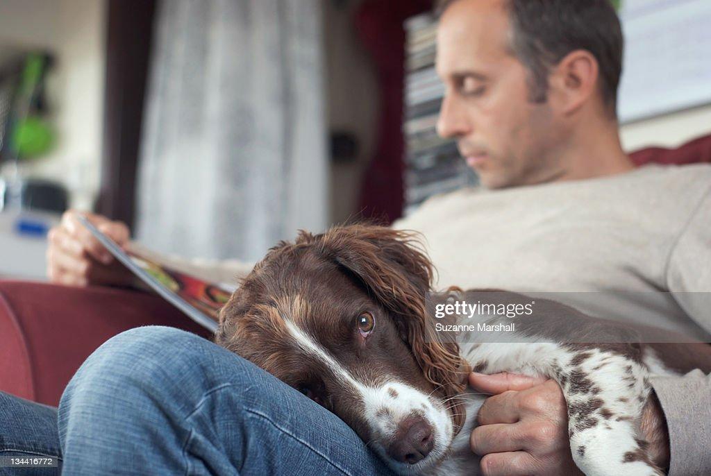 Spaniel dog lying on mans lap on sofa : Stock Photo