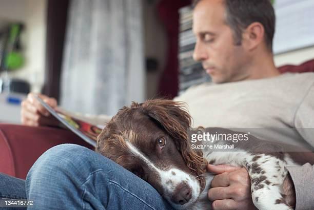 Spaniel dog lying on mans lap on sofa