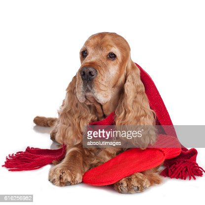 Spaniel dog with hot bottle and shawl isolated : Foto de stock