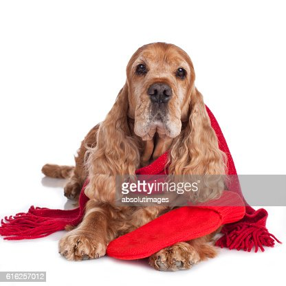 Spaniel dog with hot bottle and shawl isolated : Stock Photo