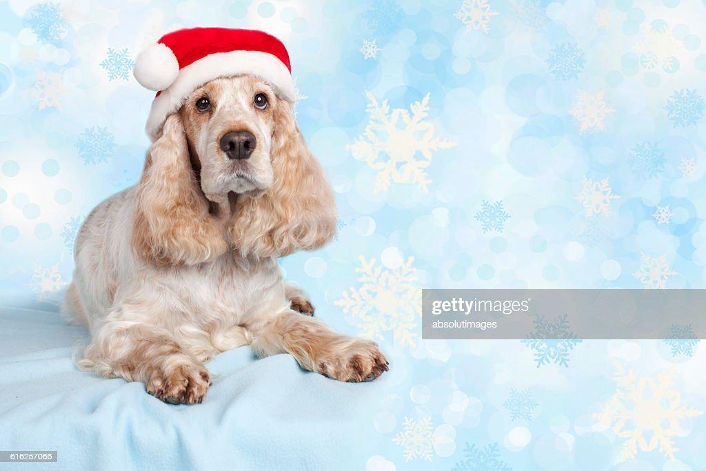 Spaniel dog with santa hat : Stock Photo