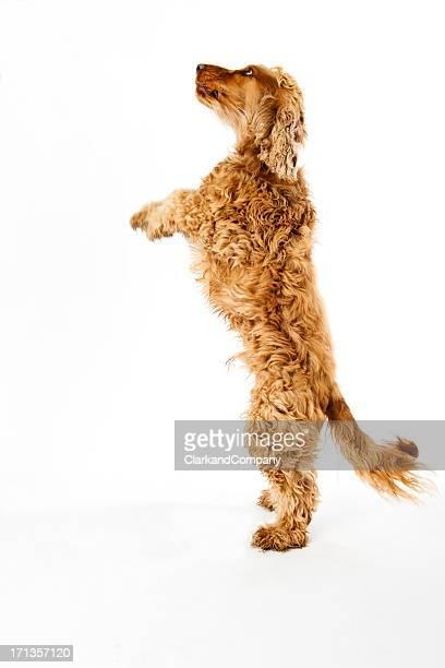 スパニエル犬