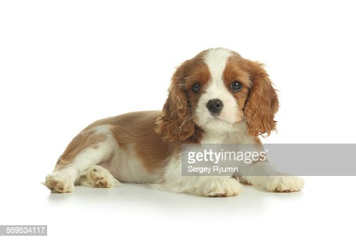 Spaniel puppy one white.