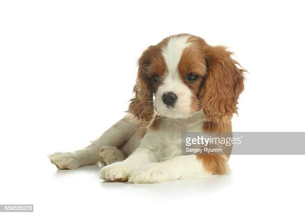 Spaniel puppy one white.