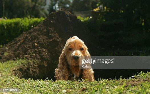 Spaniel sitting in hole dug in lawn