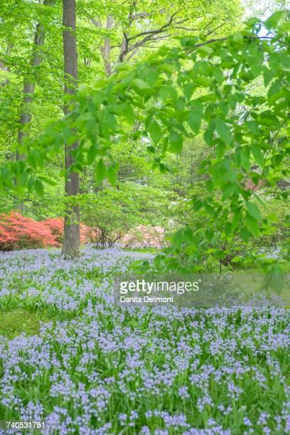 Spanish Bluebell (Hyacinthoides hispanica) in forest meadow, Azalea Woods, Winterthur, Delaware, USA