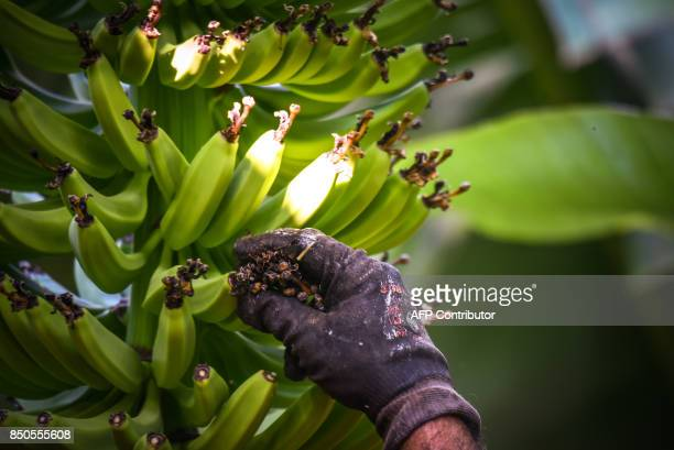 Spanish farmer Jose removes flowers from a banana tree at a plantation in Tazacorte on the Canary island of La Palma on September 13 2017 / AFP PHOTO...