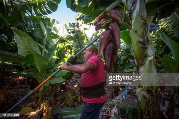 Spanish farmer Jose works at banana plantation farm in Tazacorte on the Canary island of La Palma on September 13 2017 / AFP PHOTO / DESIREE MARTIN
