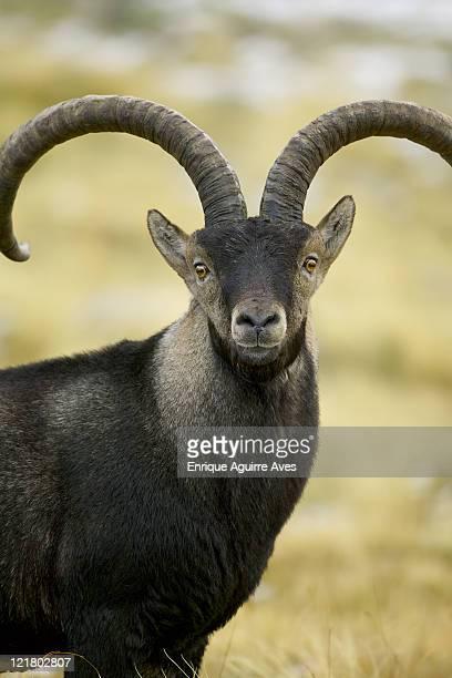 Spanish Ibex, Capra pyrenaica victoriae, portrait, Sierra de Gredos park, Spain