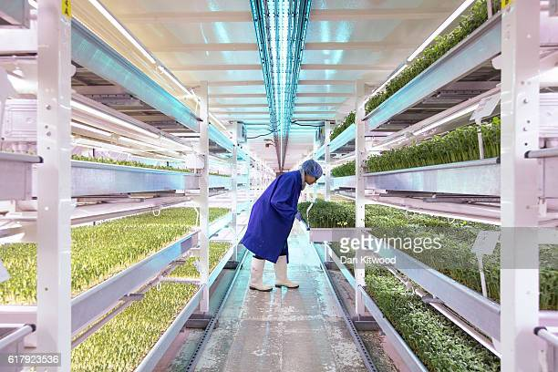 Spanish Intern Isabel checks plants in one of the Underground tunnels at 'Growing Underground' in Clapham on October 24 2016 in London England The...