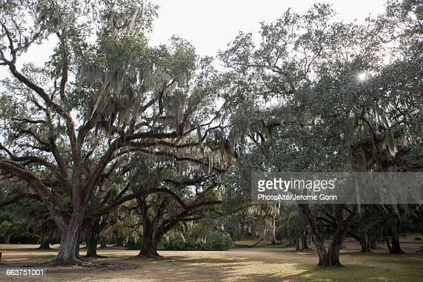Spanish moss growing on live oak trees, Avery Island, Louisiana, USA